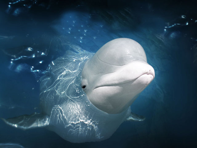 beluga_whale_close_up